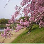 半木の道(京都)桜2018の見頃は?散策路のアクセスやランチも
